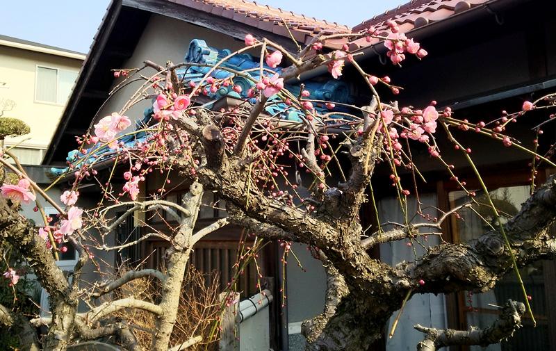 梅の花の開花